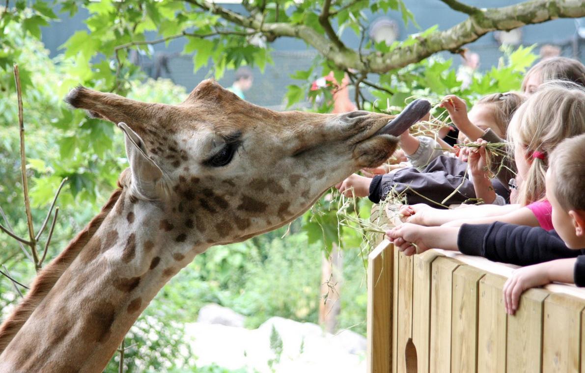 daiza giraf